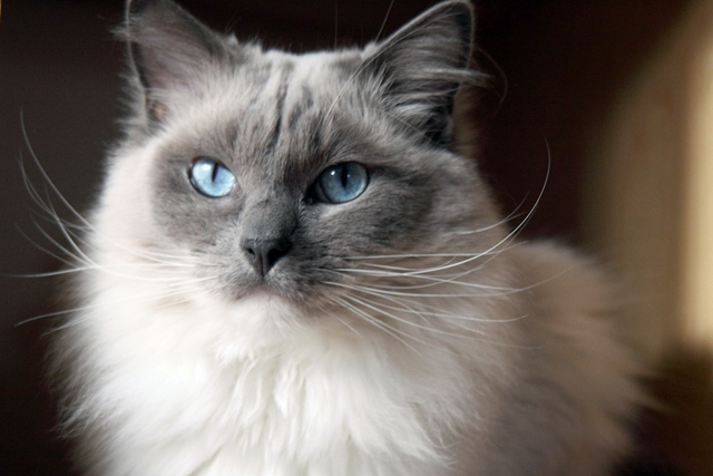 Ragdoll Cat Pictures Tips And Ideas – Picsy Buzz