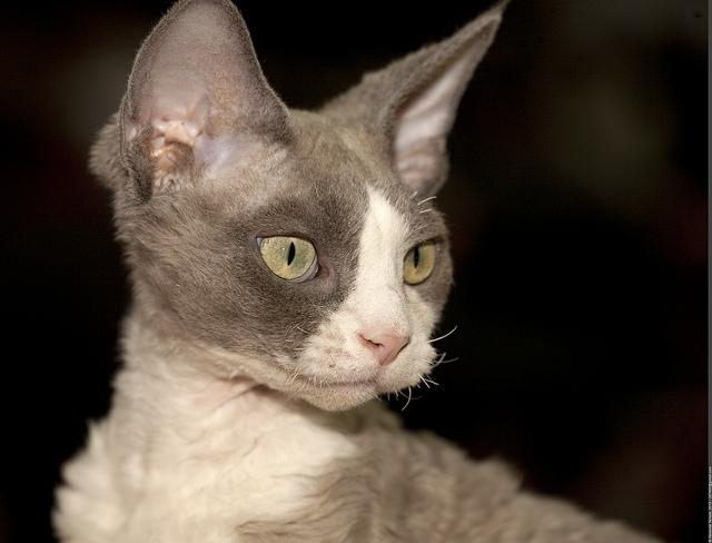 Devon Rex Cat Breed Pr...